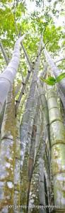 Bambus004